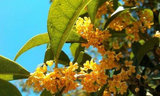 """栽植桂花树不容易成活?可以试试这种""""绝密配方"""",花开一簇簇"""