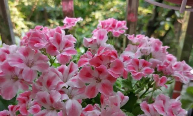 家养天竺葵,这一步没做?难怪开花少,抓紧做,花朵挤满花盆