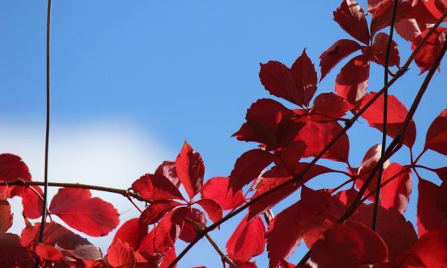 一秦诗歌:红叶石楠