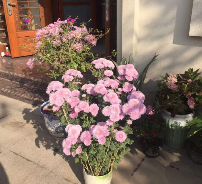 """菊花界的""""小泰迪"""",花朵毛茸茸,颜色粉嫩,太可爱!"""