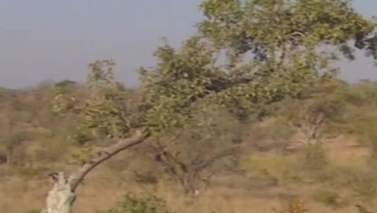 非洲狮子捕杀水牛受伤了,花豹捕杀野兔子喂养幼崽,顶尖的掠食者