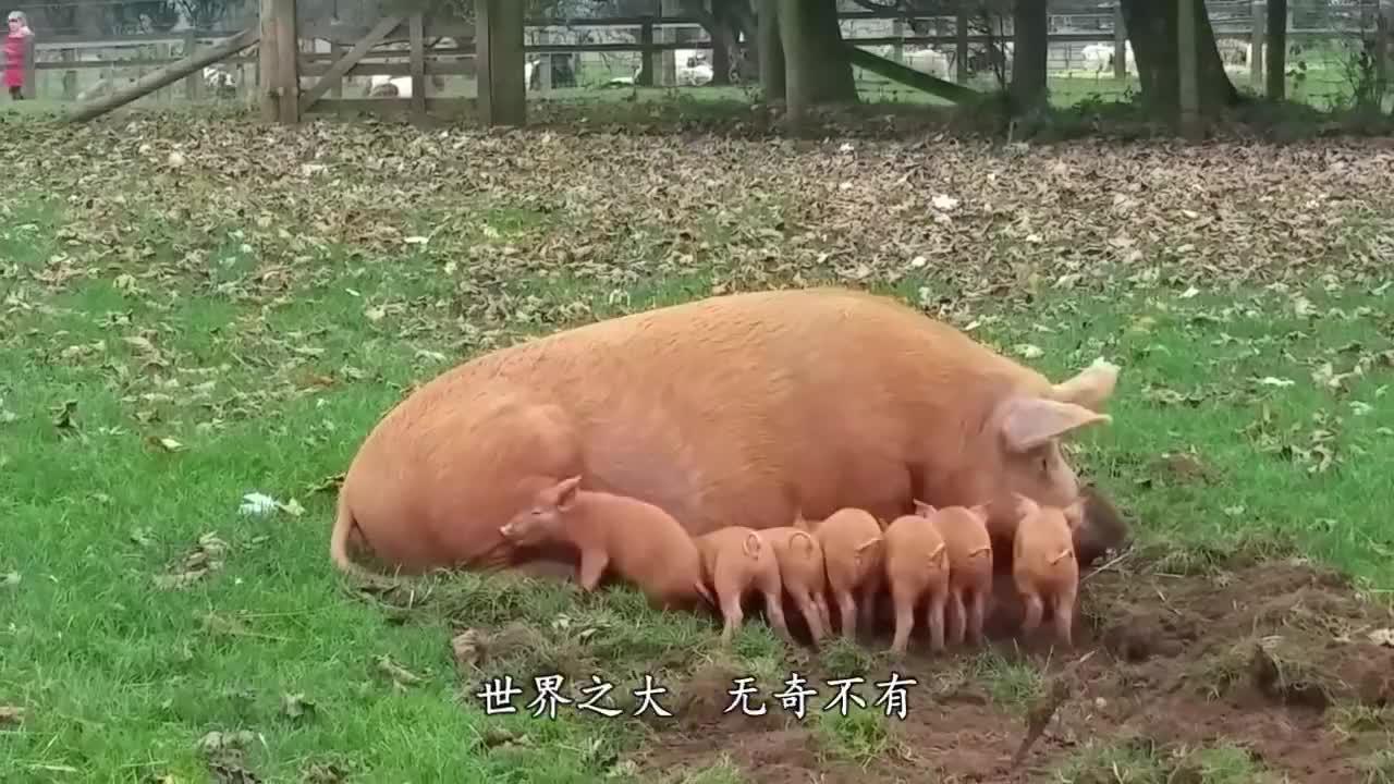 """东北大爷养了一头""""猪王"""",体重1800斤,太厉害了!"""