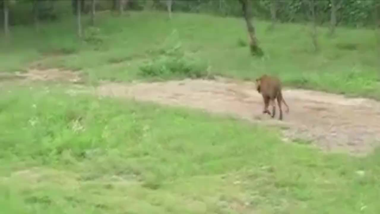 活体投食老虎,小牛不甘心被吃,正面和老虎针锋相对超有骨气