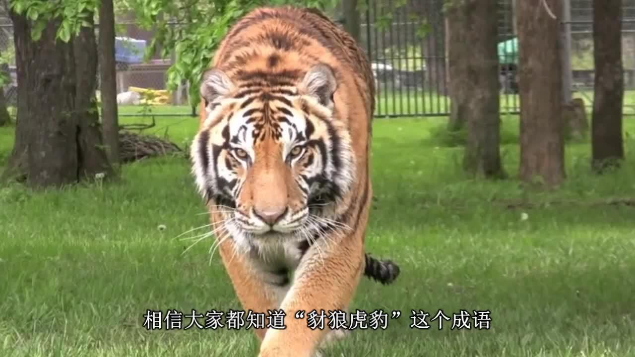 """""""掏肛兽""""偶遇老虎,老虎不慌不忙,大摇大摆的在它们身边游走"""