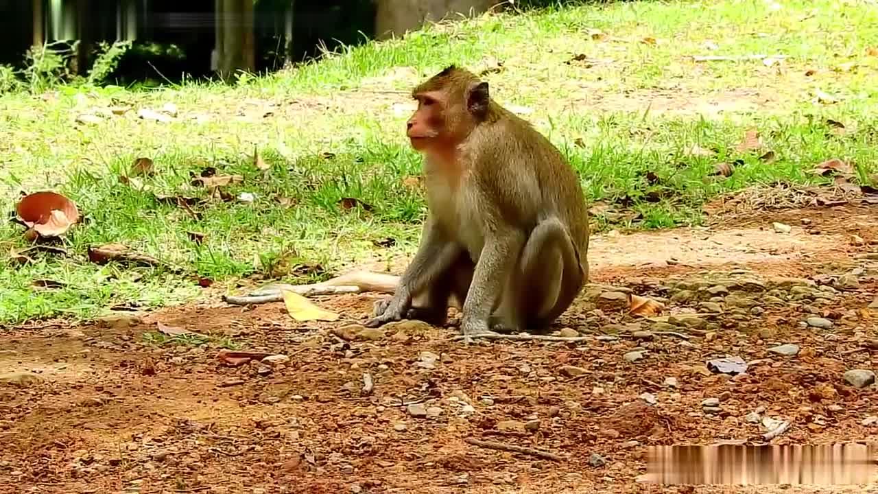 悲惨,小猴子被猴群中的同类杀害了,在地上被母猴拖走