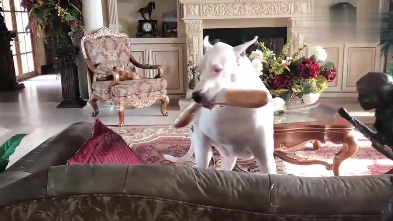 狗狗拿了根肉肠准备在沙发上看电视吃,刚好被主人抓包,好糗