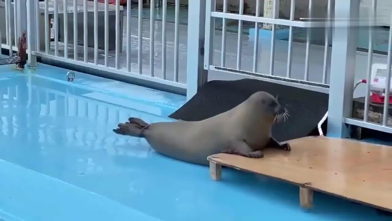 圆滚滚的小海豹真懂事,饲养员叫它干嘛就干嘛