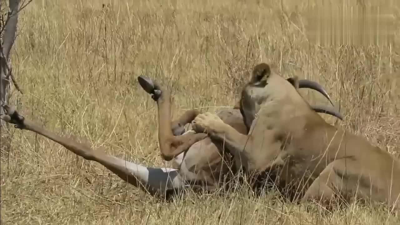 狮子袭击马羚,马羚疼得都站不起来,估计是腿被咬断了