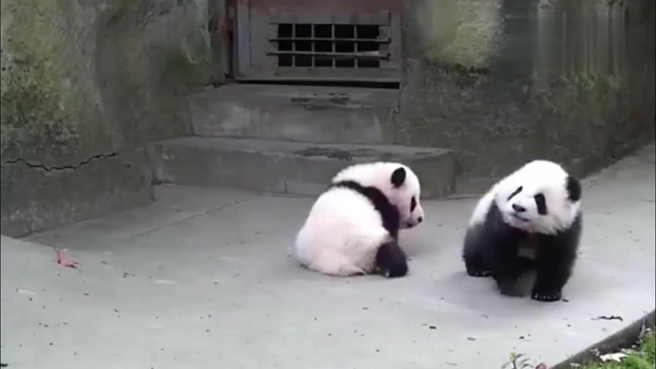 大熊猫就知道欺负妹妹,那么宽的路不走,非要从妹妹身上踩过