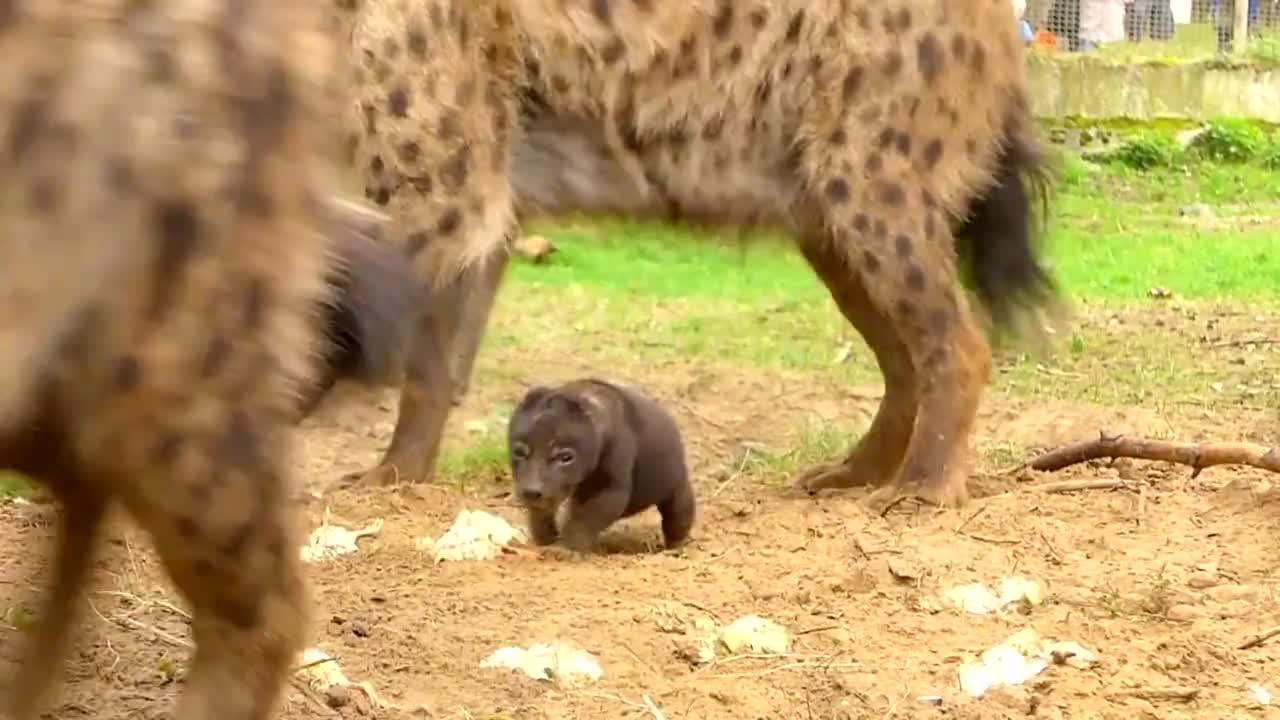 非洲二哥的儿子,也太可爱了吧,食肉动物也有萌的一面