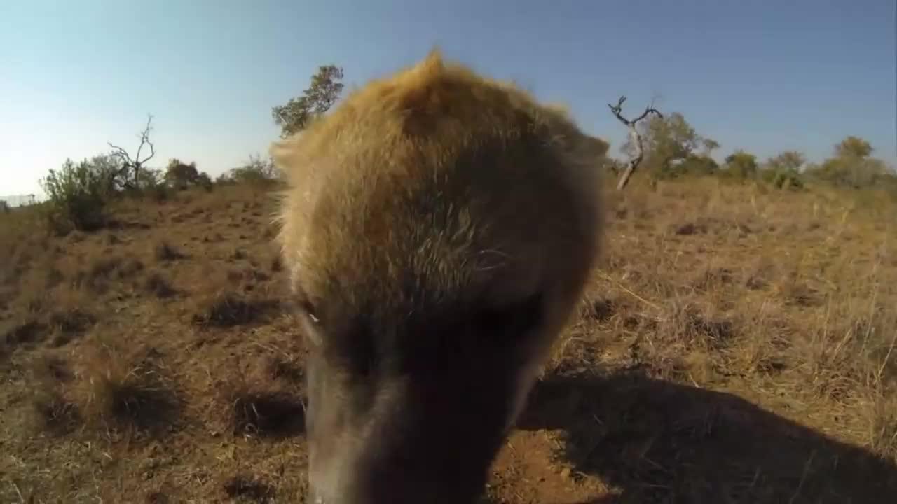 """天呐!南非""""狮语者""""和残暴掠食者鬣狗也能玩得不亦乐乎"""