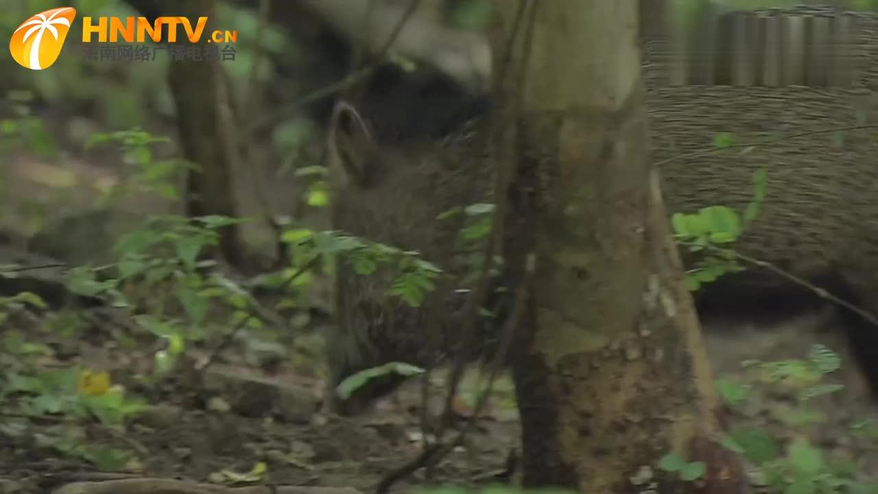 虽然野猪的食谱丰富多样,但生活在森林中的野猪,特别喜欢吃果子