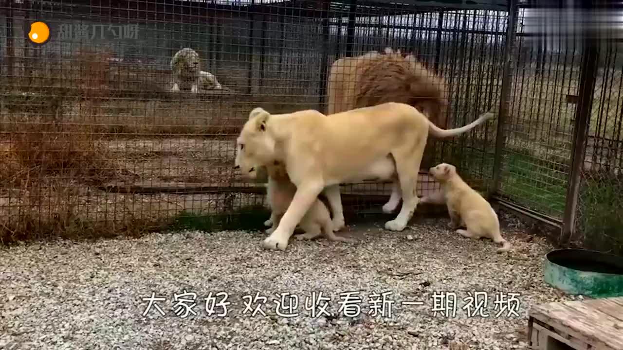 狮子不想营业,饲养员一鞋底呼了过去