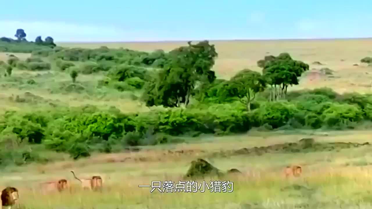 狮子捕食小猎豹,豹妈反杀,可老鹰的出现才是小猎豹噩梦的开始
