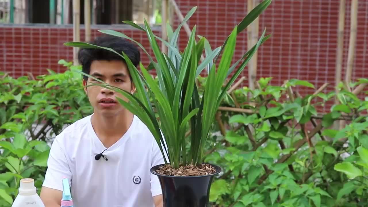 给兰花喷叶面肥,注意好3点,不伤苗也伤叶,后期开花更多