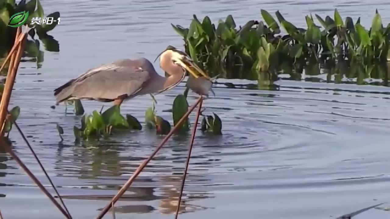 蓝鹭鸟水中捕鱼,一下就抓到一条大鱼,一口就吞下了