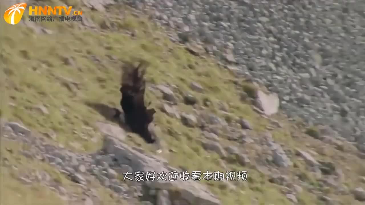 """老鹰抓岩山羊,不料聪明的山羊使出""""绝招"""",镜头拍下老鹰的惨状"""