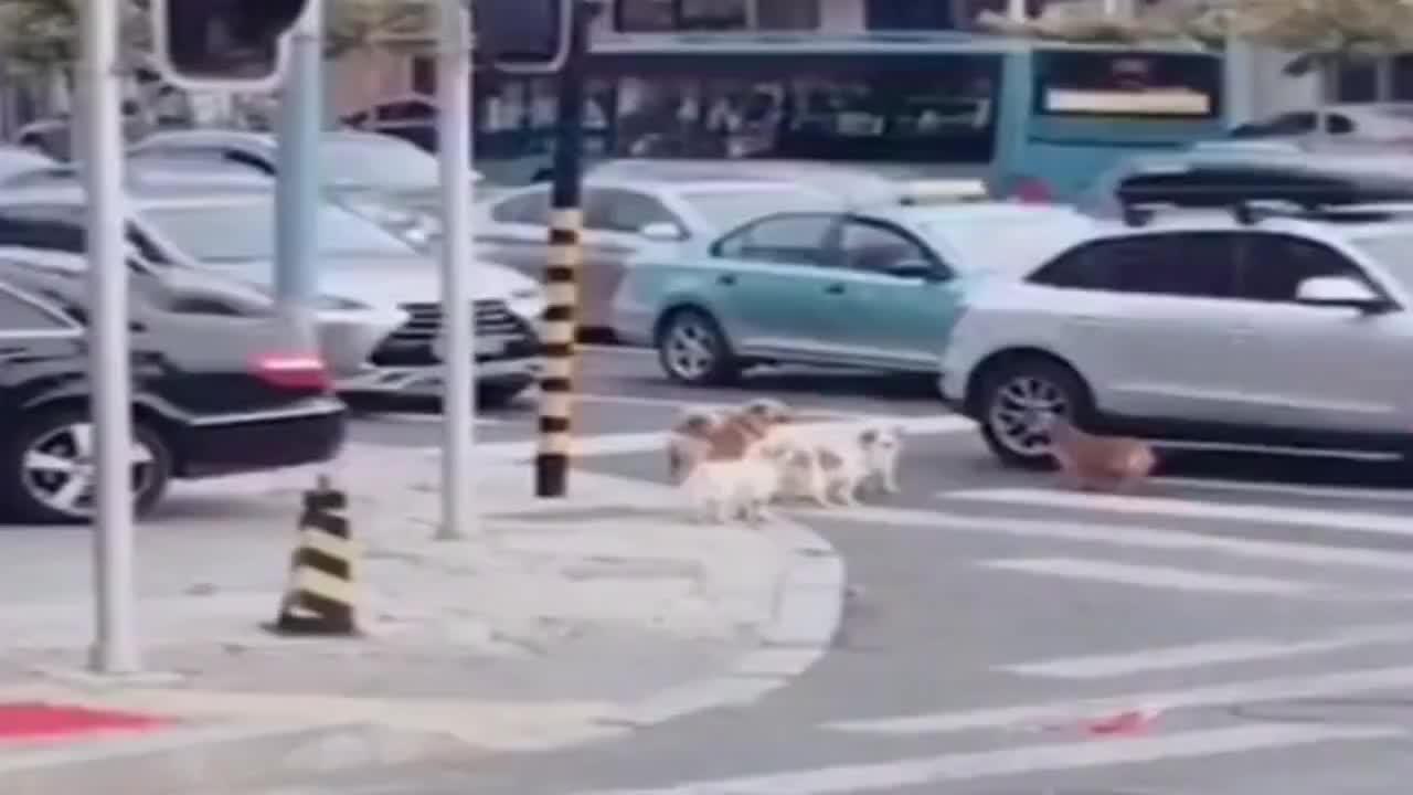 5只狗狗排队等红绿灯过马路