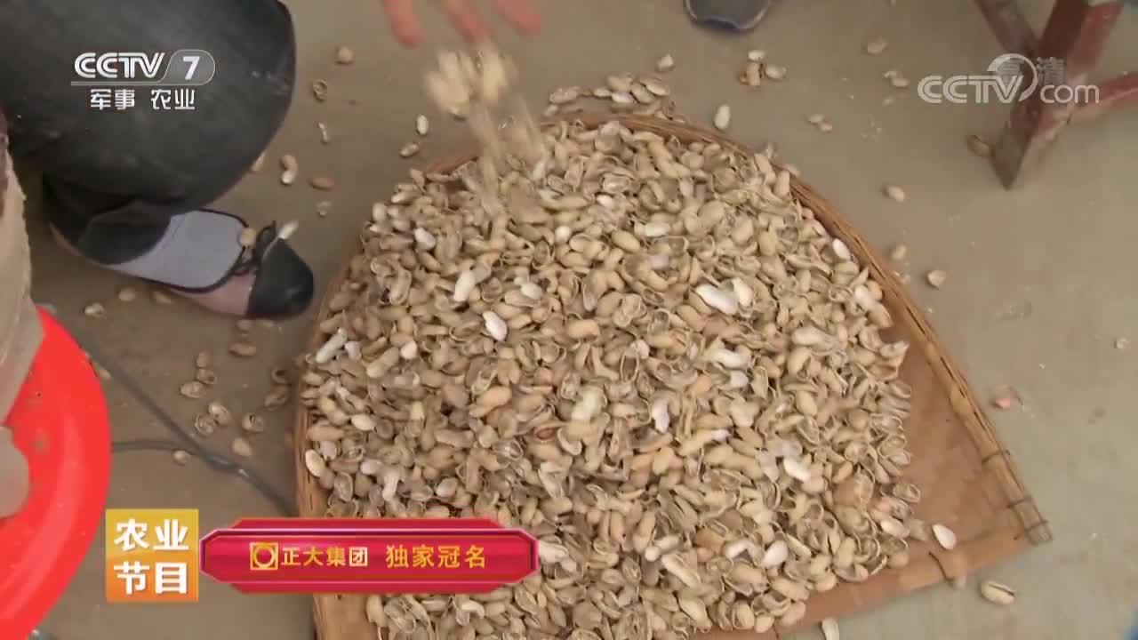 为了提高出芽率,拿自制神器剥花生,一天能剥上百斤的花生