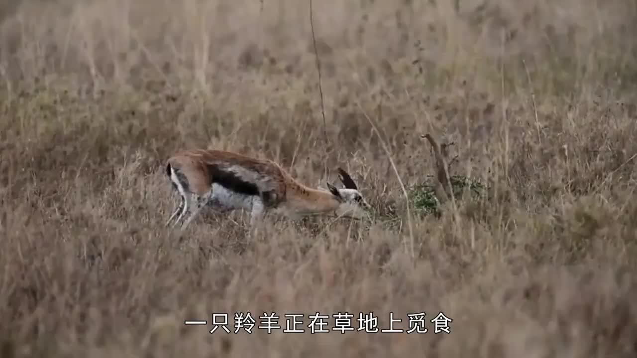 羚羊幼崽被抓本以为会被吃掉结果让人意外