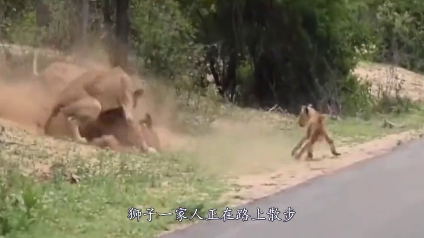 狮子一家人路上遛弯,突然冲出来一只鹿,狮子:真是天上掉馅饼!