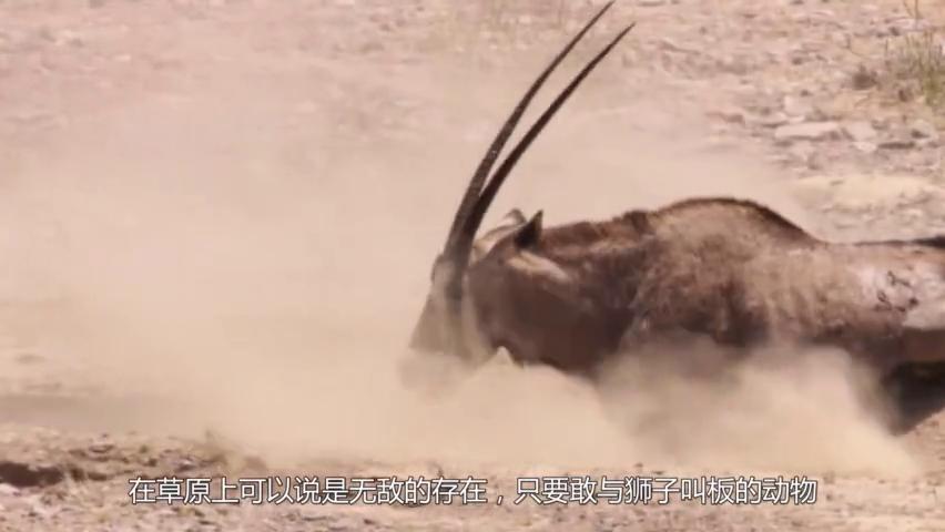 狮子抓捕豪猪,却被刺得龇牙咧嘴,豪猪:此猪非彼猪!