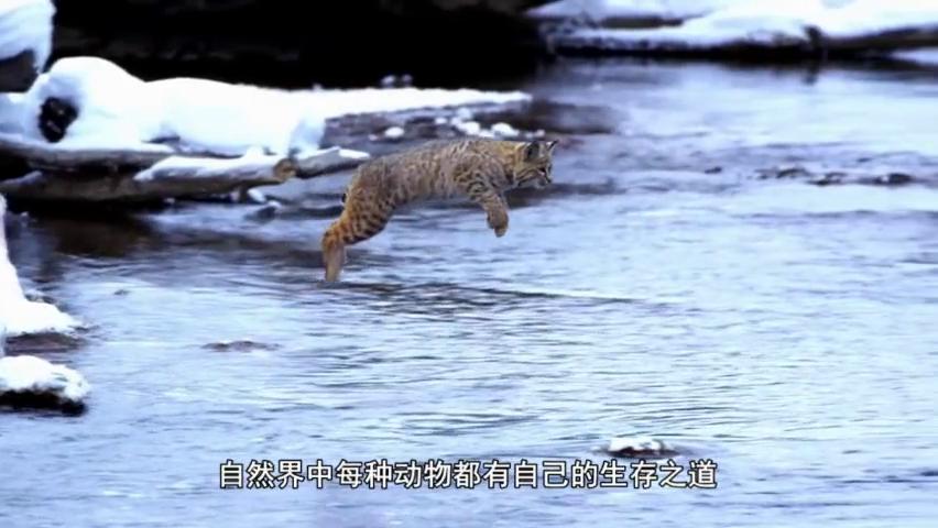 狮子捕猎豪猪,一口下去后请憋住别笑,豪猪:你想狮子借箭?