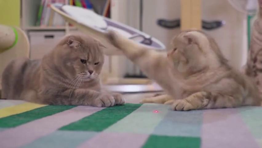 用激光笔逗猫咪玩,在屋里上蹿下跳,另一只猫看到后的反应亮了