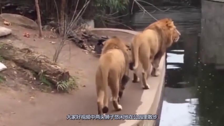 """狮子正在惬意的""""遛弯儿"""",下秒一个失足,让我忍不住的笑一年!"""