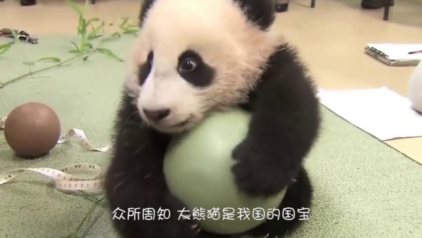 熊猫宝宝躲在墙角生闷气,饲养员安慰不成反被打,镜头记录全过程