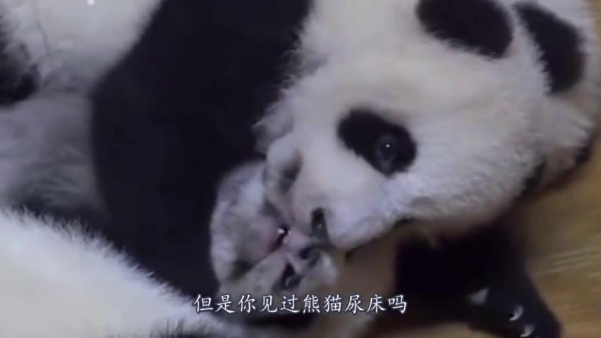 """熊猫思大新学一招,每天""""水漫金山""""波及邻居,让人哭笑不得!"""