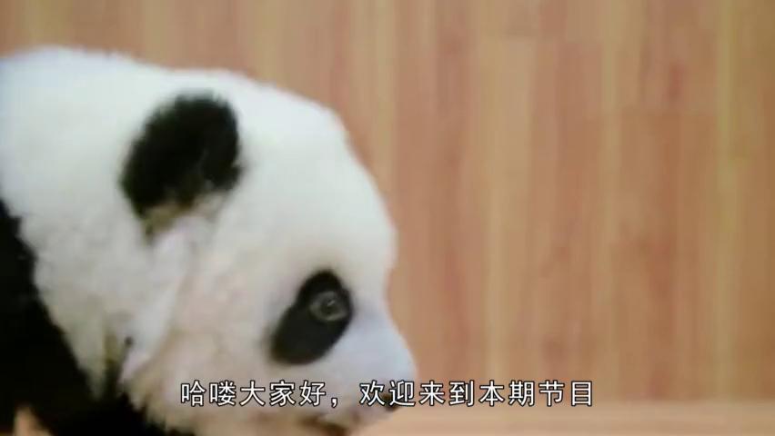 熊猫宝宝躲在墙角生闷气,饲养员上前安慰,不料团子直接一巴掌