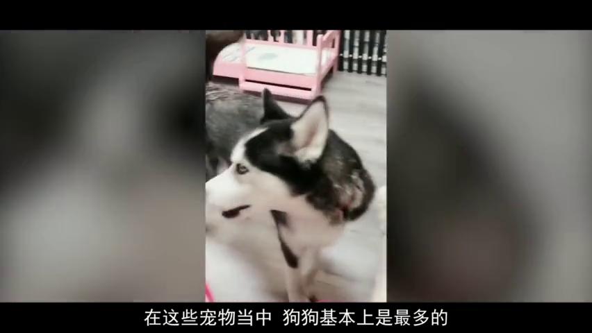 用狗语翻译器和二哈对话,没想到二哈听懂了,狗:是谁在说话?