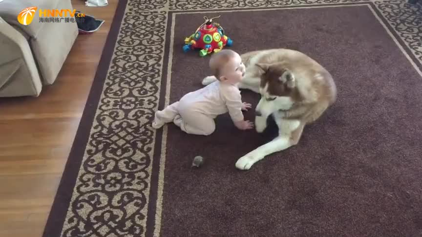 自从家里添了小宝宝,萨摩耶就变成了这样,看完憋住别笑!