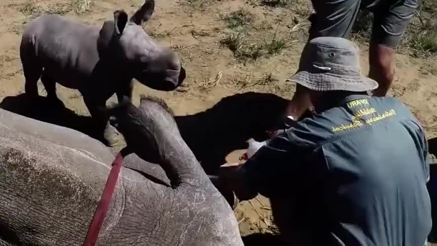 母犀牛被割角,犀牛宝宝为保护妈妈,用弱小的身体去顶撞人类!