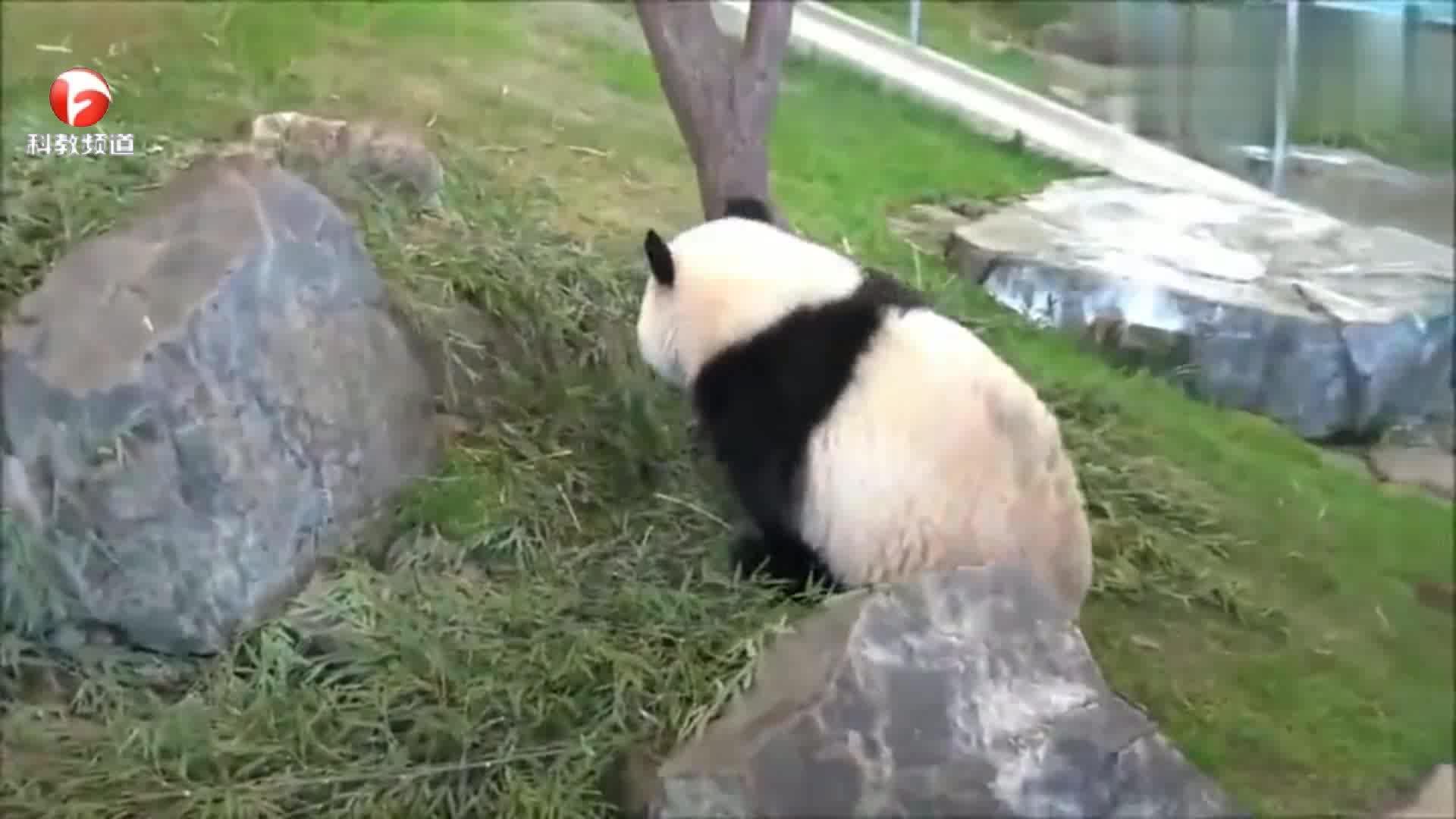 动物园里的熊猫,在树枝上爬来爬去,太可爱了!