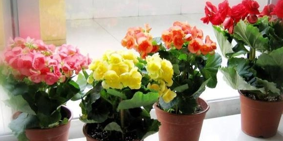 丽格海棠扦插成活之后,是否应该摘除新萌发的花芽