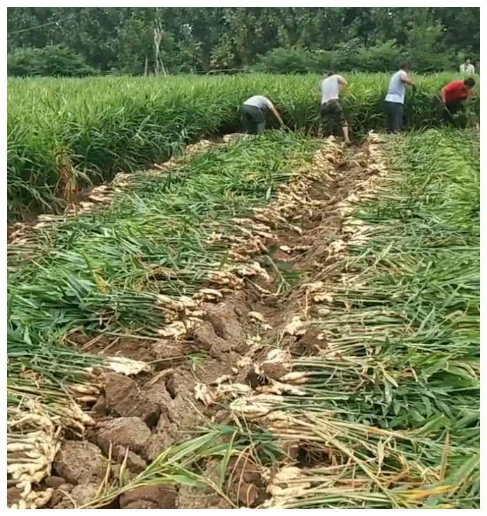 """农民种植传统的""""它""""亩产5000斤,每斤3元,年赚五十万"""