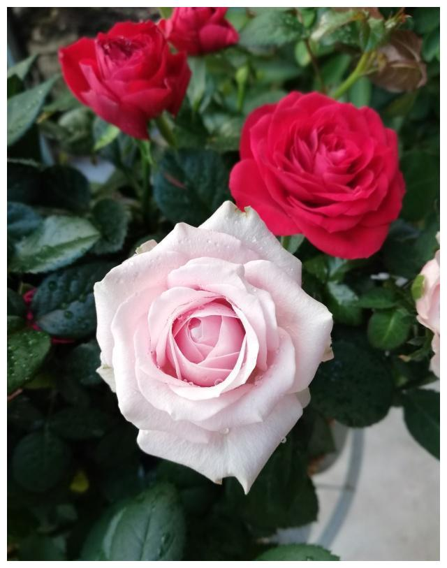 白色情人节,送一份玫瑰给TA浪漫的小惊喜!
