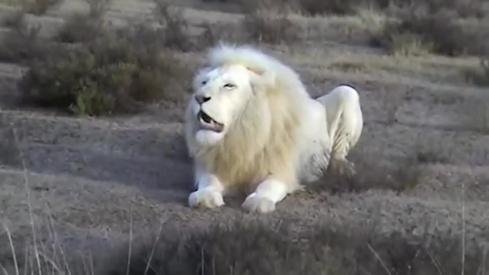 最稀有罕见的白色狮子,皮毛美丽至极,科学家称是远古生物