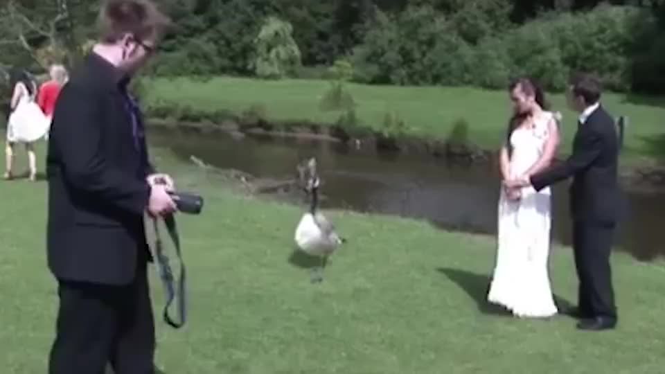 鹅破坏婚礼现场,摄像大哥一脚将其踢上天,鹅:这是人干的事儿吗