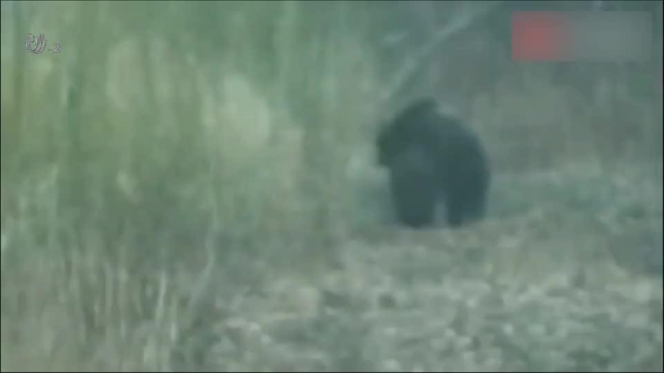 黑熊猎杀野猪,若不这个记录下一切,都不会相信黑熊居然这么猛