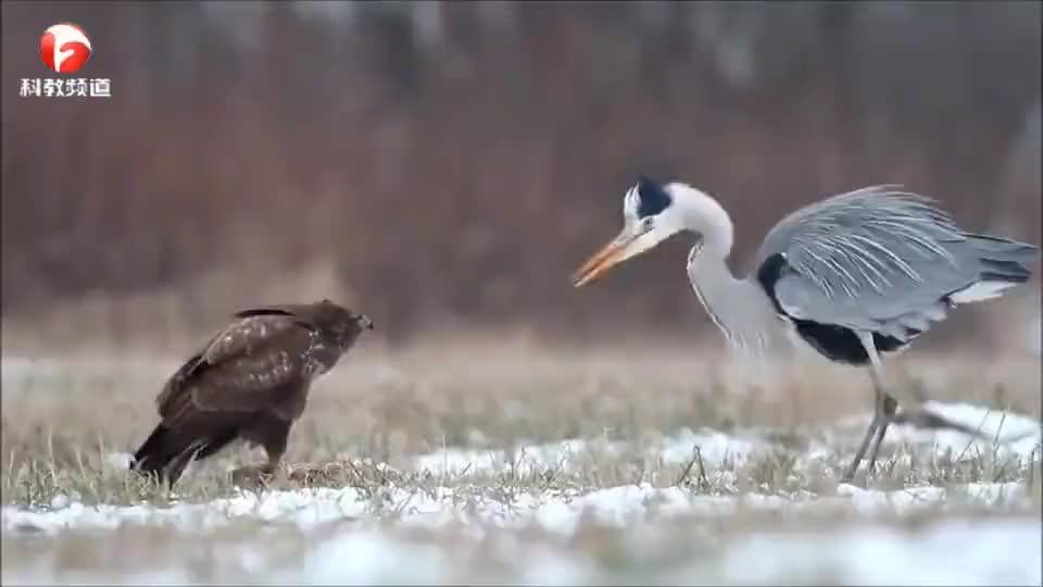 鹭鸟跟老鹰抢食,看老鹰怎么教训它