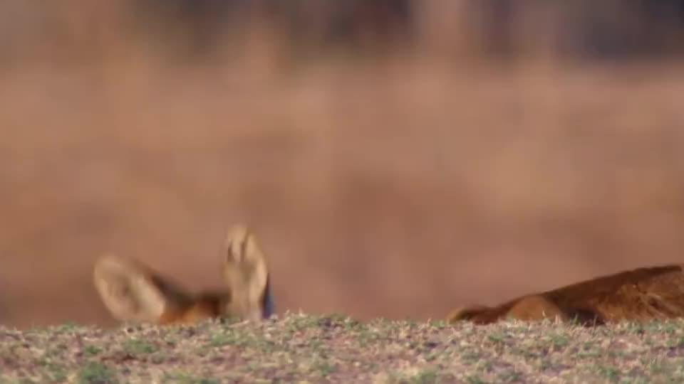 羚羊被花豹拖进沟壑,下一秒羚羊竟冲了出来,网友:发生了什么?