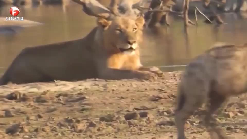 休息的狮子遭遇鬣狗群挑衅,结果只能强忍着,毕竟人家人数足够多