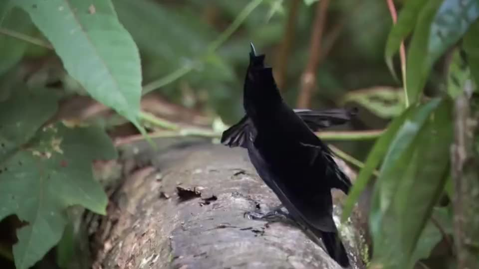 为抱得美人归,这种鸟会用花瓣搭建爱巢,相当于娶妻的彩礼