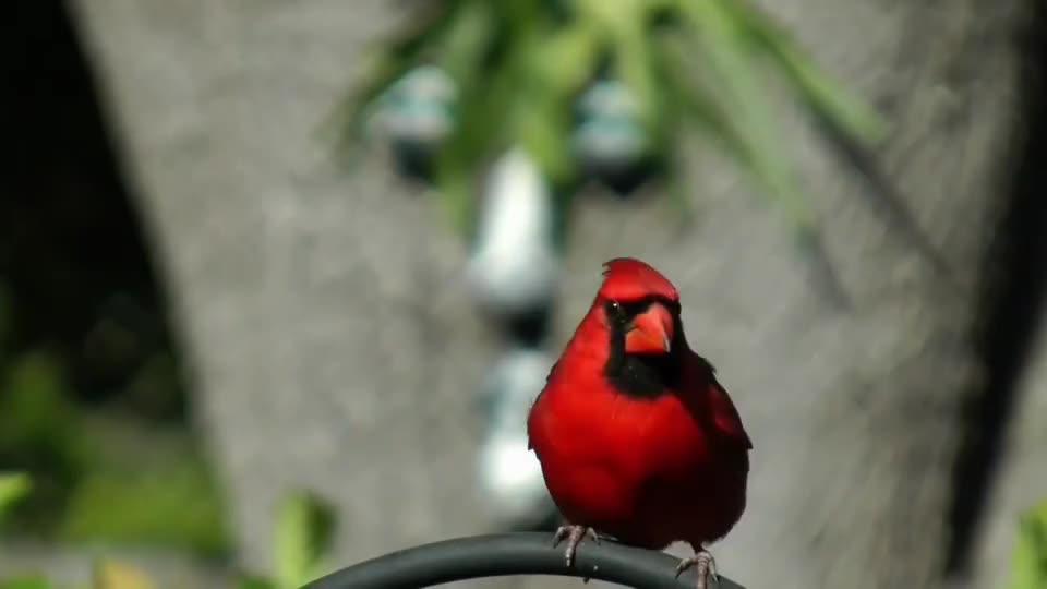 """现实版""""愤怒的小鸟"""",浑身火红的羽毛,生气时会不会也爆炸"""