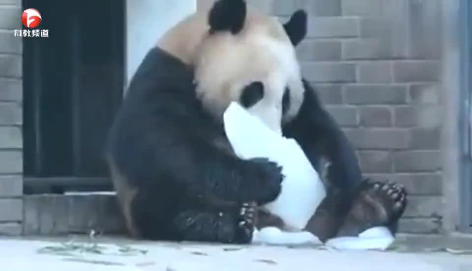 动物园中,大熊猫啃食冰块啃得可开心了,网友:碎冰冰好吃么?