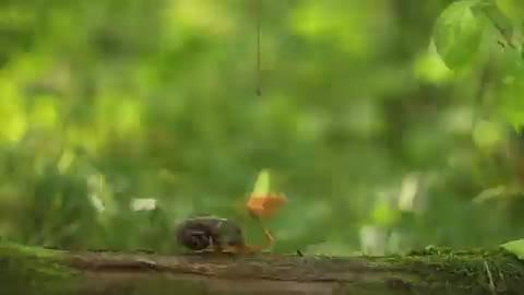 1群鬣狗攻击蜜獾,凶残的碰上不要命的谁能赢?激战即将开始