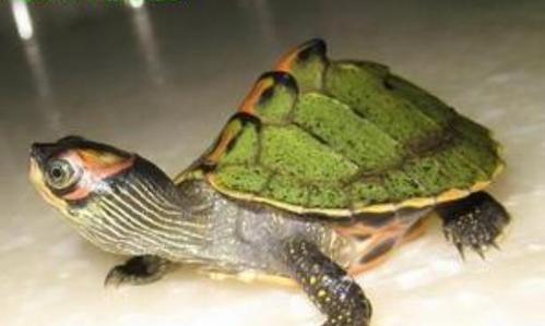 印度棱背龟,刀锋战士一枚